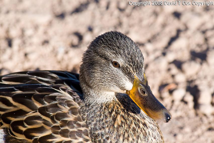 Mallard hen, Arizona, USA