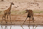 Giraffes pause at a watering hole.<br />