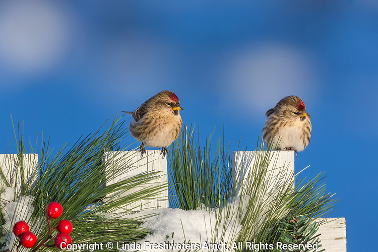 Two common redpolls perched on a festive winter fence.