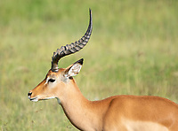 Common Impala, Aepyceros melampus melampus, in Lake Nakuru National Park, Kenya