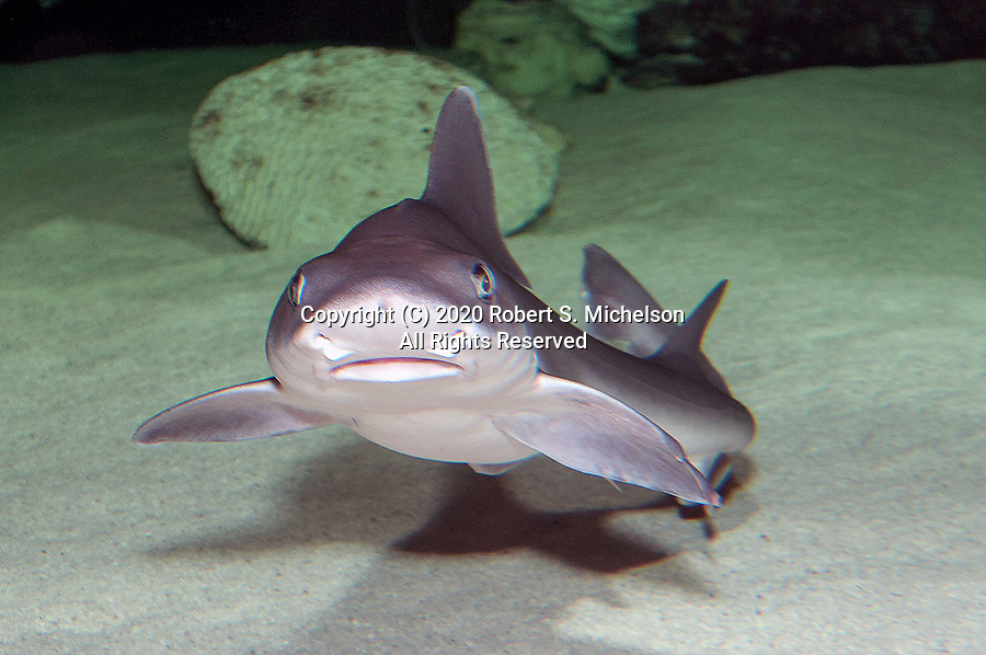 Smooth dogfish swimming towards camera