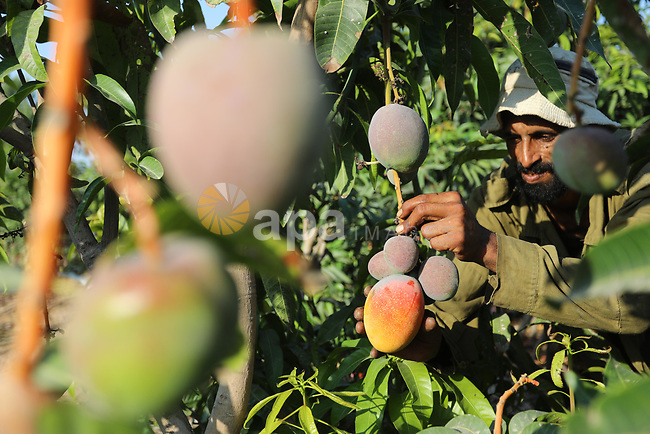 A Palestinian man picks Mango at a field during the harvest season in the center of Gaza strip, on August 11, 2021. With the summer heat, mango fruits begin to mature in the Gaza Strip. There are seven different types of mangoes being harvested this year, ranging from $ 1.5 to $ 2.3 per kilogram. Photo by Ashraf Amra