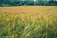 HS63-026z  Spring Polk Hard Red Wheat - Triticum aestivum