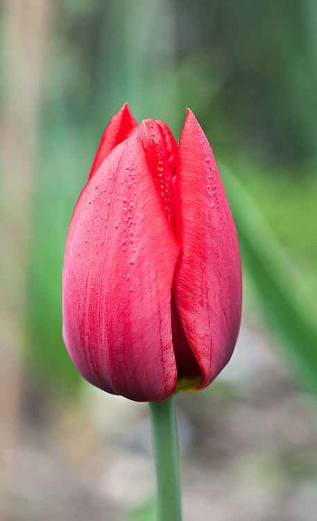 Tulipa 'Couleur Cardinal', early April. Triumph Group.