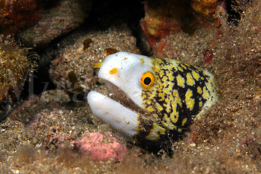 The snowflake moray eel [Echidna nebulosa] reaches 30 inches in length and is seen free swimming during the day more than other morays. Hawaii..