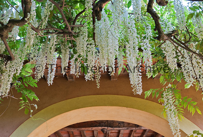Branches of delicate white wisteria frame an arched entrance to the gardens