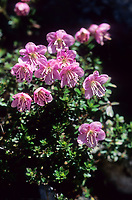 Zwergalpenrose, Zwerg-Alpenrose, Rhodothamnus chamaecistus