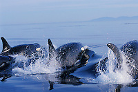 Orca Whales porpoising (way of swimming) in Puget Sound.