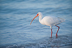 Sanibel Island, Florida; an adult White ibis (Eudocimus albus) bird, forages for food at the water's edge, Gulf of Mexico © Matthew Meier Photography, matthewmeierphoto.com All Rights Reserved
