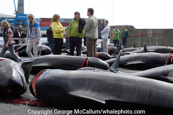 Whaling. Long-finned Pilot whales ( Globicephala melas ) Public walking between Carcasses from Grindadrap on harbour in Torshavn, Faroe Islands, North Atlantic