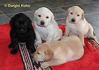 SH37-532z Lab Puppies - Genetic variation of black, yellow and white, 4 weeks old,  Labrador Retriever..