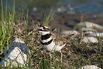 Killdeer (Charadrius vociferus) walking next to the water
