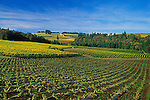Willamette Valley Oregon wine country: vineyards in the Red Hlls of Dundee; Sokol Blosser in foreground, Domaine Drouhin in distance. .#2330-1313