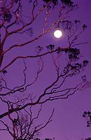 Ohia lehua tree, sunset, Kokee State Park, near Kalalau Lookout, with full moon.