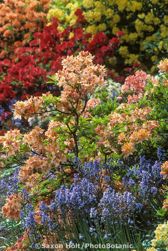 Rhododendron occidentale hybrid 'Evening Glow'  Mollis azalea, deciduous flowering shrub in spring garden with blue scilla