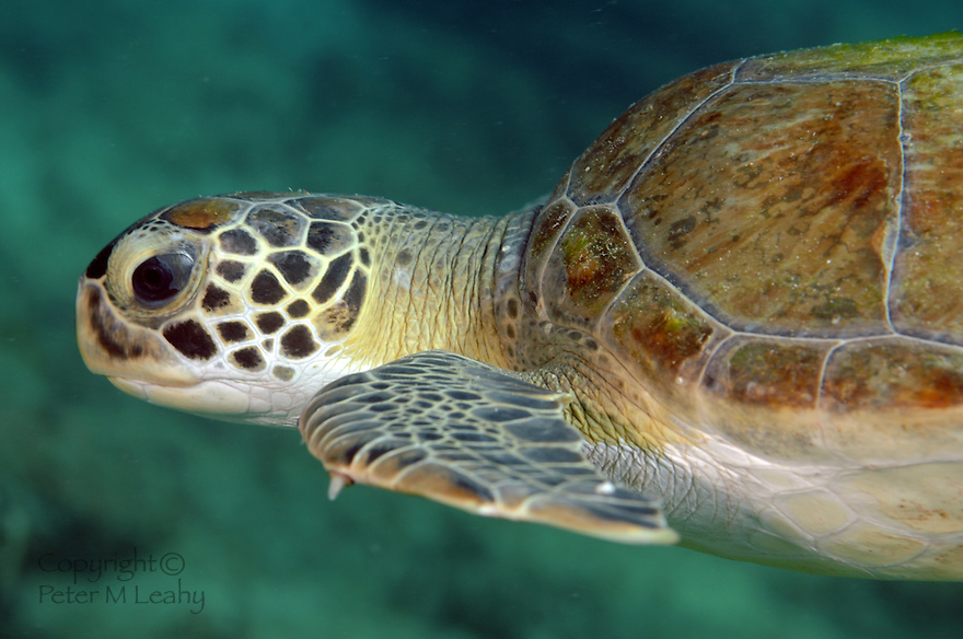 Green Turtle Swimming in open sea water.