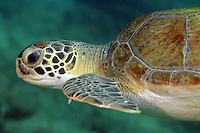 Green Turtle Swimming in open sea water.