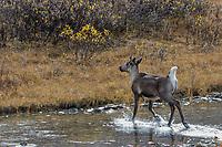 Woodland Caribou or mountain caribou (Rangifer tarandus caribou) cow crossing small stream in alpine tundra, Northern Rocky Mountains,  British Columbia.  Fall.