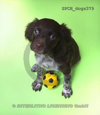 Xavier, ANIMALS, dogs, photos(SPCHdogs379,#A#) Hunde, perros