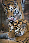 17 months old female Bengal tiger cub licking brother's ear, late afternoon, dry season