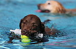 Gunner gathers some toys at the 9th annual Pooch Plunge at the Carson City Aquatics Center in Carson City, Nev., on Saturday, Sept. 23, 2017. The event is a fundraiser for Carson Animal Services Initiative which supports the Nevada Humane Society in Carson City. <br /> Photo by Cathleen Allison/Nevada Photo Source
