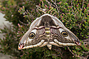 Emperor moth female {Saturnia pavonia} resting on heather, Peak District National Park, UK. April.