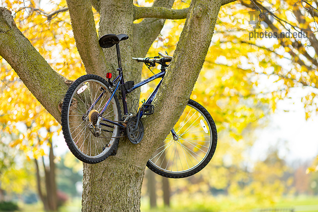 October 28, 2020; Bike in a tree (Photo by Matt Cashore/University of Notre Dame)