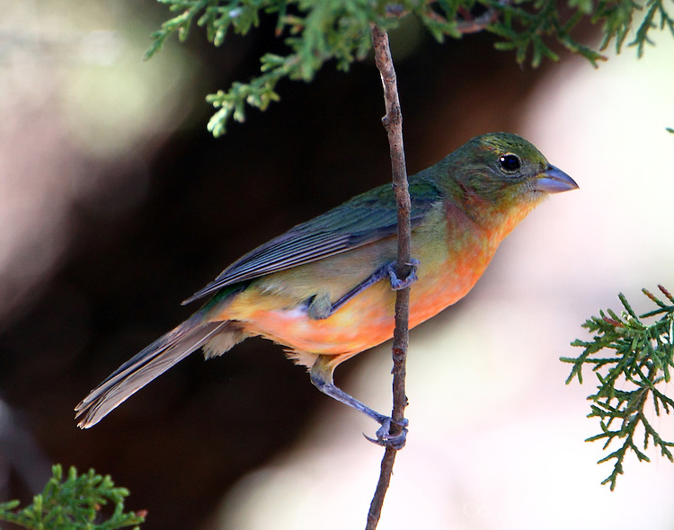 Immature male painted bunting