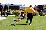 A german shepherd dog attacking a suspect running away at a scene as a police department demonstration