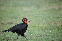 Southern Ground-Hornbill, Masai Mara, Kenya