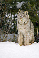 Canada Lynx sitting in the snow on the edge of a forest - CA