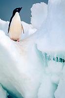 Adelie penguin, Pygoscelis adeliae, commuting adults traverse difficult icy terrain crossing shorefast ice apron to reach their breeding colony, Possession Island, Ross Sea, Antarctica