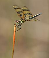 Halloween Pennant (Celithemis eponina) Dragonfly - Female, Babcock-Webb WMA, Charlotte County, Florida