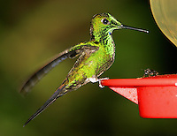 Adult male green-crowned brilliant