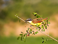 Great Kiskadee perched on branch dropping red berry from beak