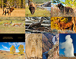 Wildlife and Scenery of Yellowstone National Park, Elk, Bison, Cinnamon Black Bear, Pronghorn, River Otter, Moose, Lamar Valley, Travertine Scream Mammoth Hot Springs, Lower Falls of the Grand Canyon of the Yellowstone, Old Faithful Geyser
