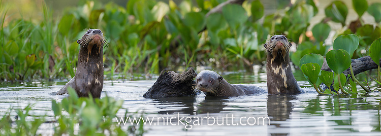 Giant Otters (Pteronura brasiliensis) in a lagoon off the Paraguay River, Taiama Reserve, western Pantanal, Brazil.