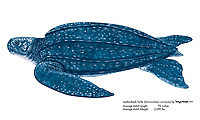 Leatherback turtle, Dermochelys coriacea, illustration by the artist Wyland