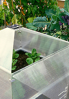 Cloche Cold Frame protecting young vegetables plants in garden