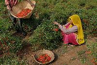 INDIA Madhya Pradesh , harvest of red chilies at farm / INDIEN, Ernte von roten Chilies
