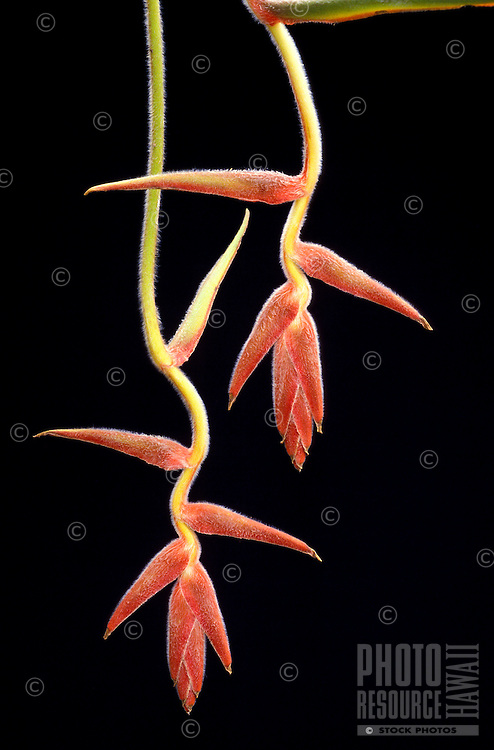 A pair of sinuous watercolor-red bracts of pendant heliconia (Heliconia mutisiana)