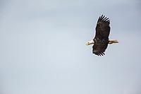 Bald eagle in flight, Katmai National Park, Alaska Peninsula, southwest Alaska.