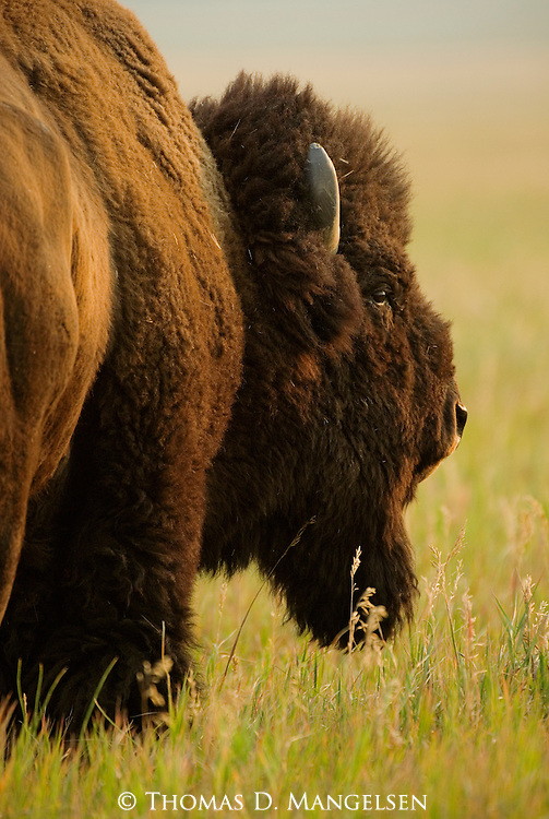 A bison stands in a meadow of spring grasses in Grand Teton National Park, Wyoming.