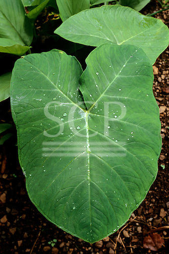 Mato Grosso, Brazil. Bright green leaf with distinctive veins of the Araceae; Amazon forest.