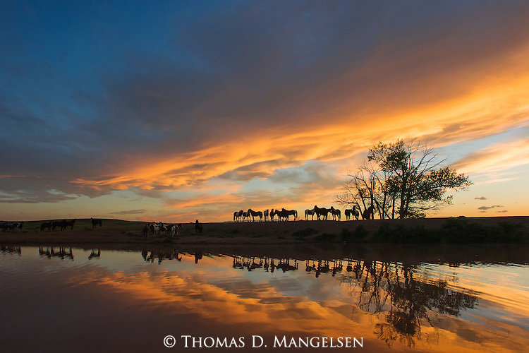 As the setting sun infuses the clouds with rich, vibrant oranges, a herd of wild mustangs gather around a watering hole in Northwest Wyoming.