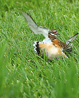 "Adult Killdeer (Charadrius vociferus) utilizing a ""broken wing act"" as distraction behavior to protect its ground nest, Ottawa County, Ohio, USA."