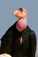California Condor (Gymnogyps californianus).(San Diego Wild Animal Park)