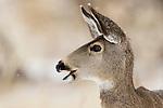 Mule Deer (Odocoileus hemionus) doe, Tule Lake National Wildlife Refuge, California
