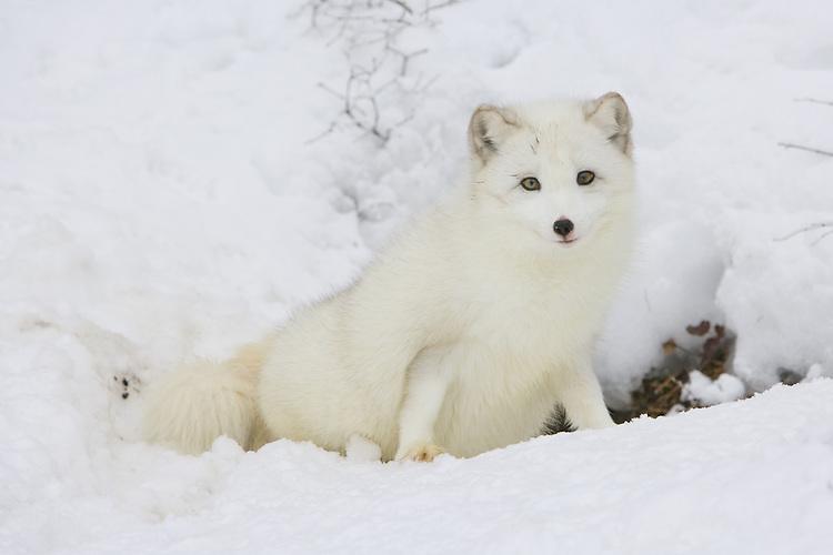 Arctic fox sitting on edge of a den site - CA