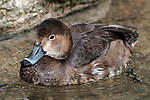 Redhead duck winter plummage